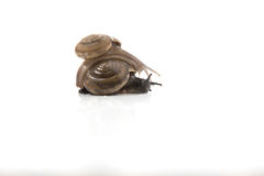 Dos caracoles están subiendo juntos, en el fondo blanco, clo del caracol Imagen de archivo libre de regalías
