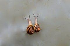 Dos caracoles que se arrastran junto Fotografía de archivo