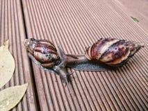 Dos caracoles que se tocan Imágenes de archivo libres de regalías