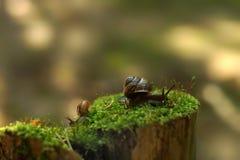 Dos caracoles se arrastran en diversas direcciones en la madrugada en un tocón con el musgo en el bosque Fotografía de archivo libre de regalías