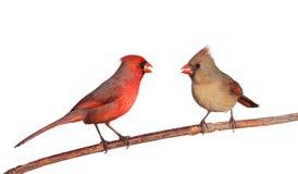 Dos cardenales con los gérmenes de alazor en su pico Foto de archivo libre de regalías