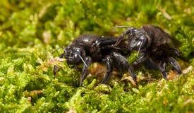 Dos carpintero Bee en vista delantera del musgo Imágenes de archivo libres de regalías