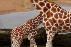 Dos carrocerías de la jirafa Fotografía de archivo