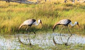Dos carunculatis de Bugeranus de las grúas de Wattled en el riverbank de Khwairiver, delta de Okavango, Botswna fotografía de archivo libre de regalías