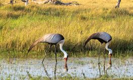 Dos carunculatis de Bugeranus de las grúas de Wattled en el riverbank de Khwairiver, delta de Okavango, Botswna foto de archivo