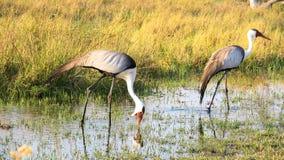 Dos carunculatis de Bugeranus de las grúas de Wattled en el riverbank de Khwairiver, delta de Okavango, Botswna foto de archivo libre de regalías