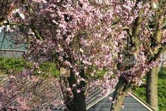 Dos casas del pájaro en el tronco del árbol con el flor rosado Imagen de archivo