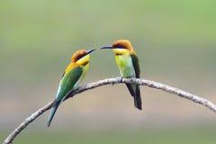 Dos castaña-dirigieron al Abeja-comedor Foto de archivo