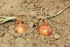 Dos cebollas en el suelo Imagen de archivo