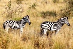 Dos cebras Foto de archivo libre de regalías