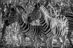 Dos cebras Imagen de archivo libre de regalías