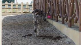Dos cebras caminan en el recinto en el parque zoológico almacen de video