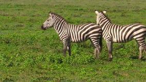 Dos cebras comunes en Ndutu almacen de metraje de vídeo