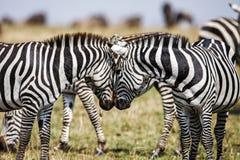 Dos cebras crean la simetría perfecta, armonía mientras que permanente cara a cara el ` imagen de archivo libre de regalías