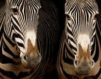 Dos cebras de Grevy fotografía de archivo