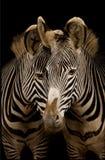 Dos cebras de Grevy fotos de archivo