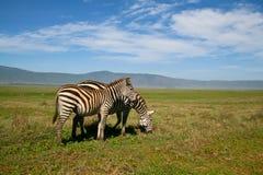 Dos cebras en el cráter de Ngorongoro Imagen de archivo