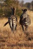 Dos cebras en la sabana africana verticalmente Fotos de archivo libres de regalías