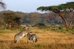 Dos cebras que juegan alrededor Imágenes de archivo libres de regalías