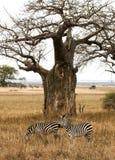 Dos cebras que pastan debajo de un árbol del baobab Fotografía de archivo