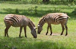Dos cebras que pastan en la reserva de Nakuru del lago Fotos de archivo libres de regalías