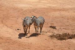 Dos cebras que recorren de lado a lado Foto de archivo libre de regalías