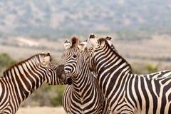 Dos cebras que se besan detrás de la otra cebra foto de archivo libre de regalías