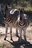 Dos cebras que se colocan en mirar fijamente del waterhole imagen de archivo