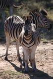 Dos cebras que se colocan en mirar fijamente del waterhole fotografía de archivo