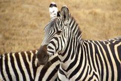 Dos cebras rayadas en sabana Foto de archivo libre de regalías