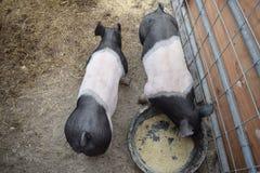 Dos cerdos Imagen de archivo