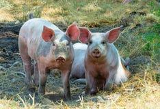 Dos cerdos al aire libre orgánicos en el campo imagenes de archivo