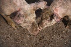 Dos cerdos blancos grandes en campo fangoso Fotografía de archivo libre de regalías