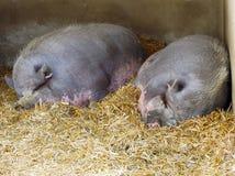 Dos cerdos de los lomos Imagenes de archivo