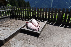 Dos cerdos en el museo del pueblo en Kappl Fotografía de archivo