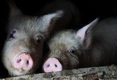 Dos cerdos en la pluma Foto de archivo