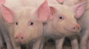 Dos cerdos jovenes Imágenes de archivo libres de regalías