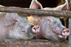 Dos cerdos masculinos completamente crecidos grandes Fotos de archivo libres de regalías