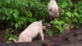Dos cerdos rosados cubiertos con el fango que busca la comida almacen de video