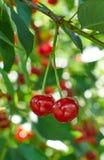 Dos cerezas maduras rojas que crecen en el árbol Foto de archivo
