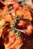 Dos chaquetas amarillas que alimentan en una descomposición Apple Foto de archivo libre de regalías