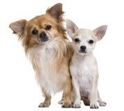 Dos chihuahuas, 3 años y perrito de 5 meses Imagenes de archivo