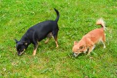 Dos chihuahuas en el césped Fotografía de archivo libre de regalías
