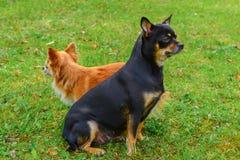 Dos chihuahuas en el césped Fotos de archivo