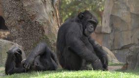 Dos chimpancés en el parque zoológico