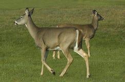 Dos ciervos Imagen de archivo