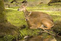 Dos ciervos Fotos de archivo