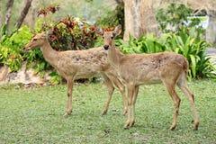 Dos ciervos de huevas Imagen de archivo libre de regalías