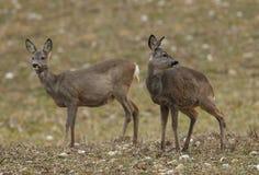 Dos ciervos de huevas hacen en un campo Imagenes de archivo