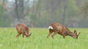 Dos ciervos de huevas salvajes, pastando en un campo almacen de metraje de vídeo